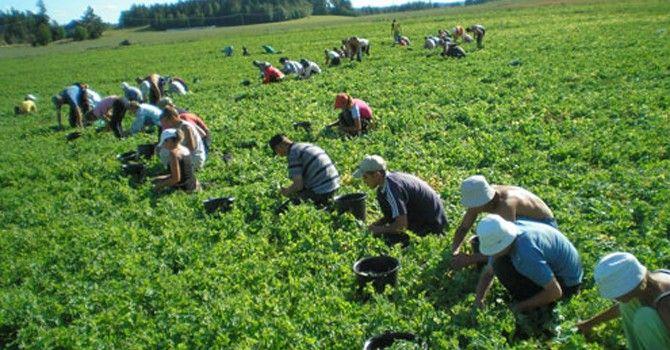 Danemarca oferă 300 de locuri disponibile pentru culegătorii de mazăre