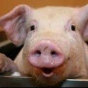 Naţiunea care a dat bratwurst şi hot dog nu mai este avidă de carne de porc
