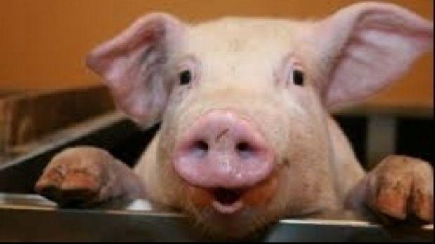DSV Arad atenționează asupra pericolului pestei porcine africane, boală virală ajunsă la granițele țării noastre