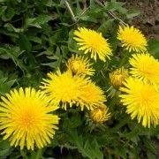 PLANTELE MEDICINALE TIN FICATUL SANATOS