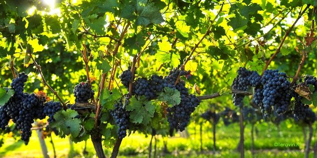 Termenul pentru depunerea cererilor de plată pentru măsura de asigurare a recoltelor de struguri pentru vin este de 30 noiembrie!