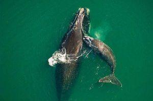 balena nordică