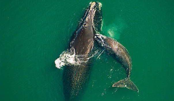 Balena nordică, în pericol din cauza vânătorii excesive și a traficului maritim intens