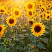 România s-a situat în 2019 pe primul loc în UE la suprafaţa cultivată şi la producţia de porumb boabe şi floarea soarelui