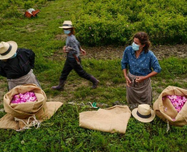 Măștile înfloresc printre trandafiri în capitala parfumului francez
