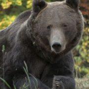 Urşi îndepărtaţi de jandarmi la Băile Tuşnad; o ursoaică a intrat într-un magazin