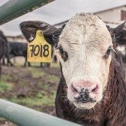 APIA efectuează plăți pentru beneficiarii Măsurii 14 – Bunăstarea animalelor