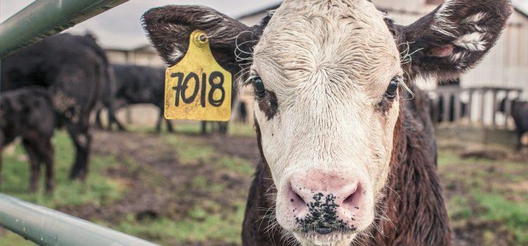 APIA primește cereri de solicitare a ajutorului de stat pentru susținerea activității crescătorilor din sectorul bovin în contextul crizei economice generate de pandemia COVID -19