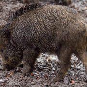 Pesta porcină face ravagii în județul Arad, peste o sută de mistreți morți