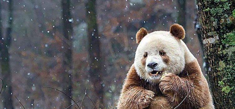 O femelă de panda uriaş din Franța este gestantă, acestea fiind fertile doar 24-48 de ore pe an